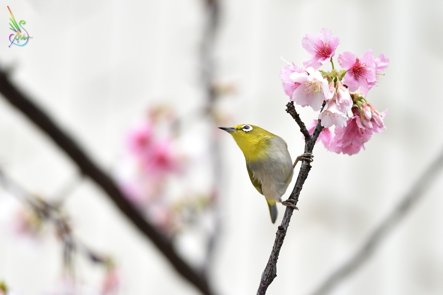 Sakura_White-eye_0007