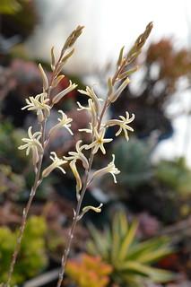 DSC_5540 Haworthia herbacea  ハオルチア ヘルバセア