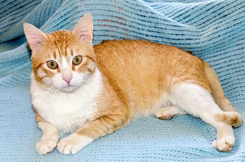 Robin, gato blanco y naranja guapo y súper dulce esterilizado, +inmunodeficiencia nacido en Marzo´15, en ADOPCIÓN ESPECIAL. Valencia. ADOPTADO. 33154689664_cc830c7708