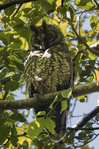 Cuba: Stygian Owl 1