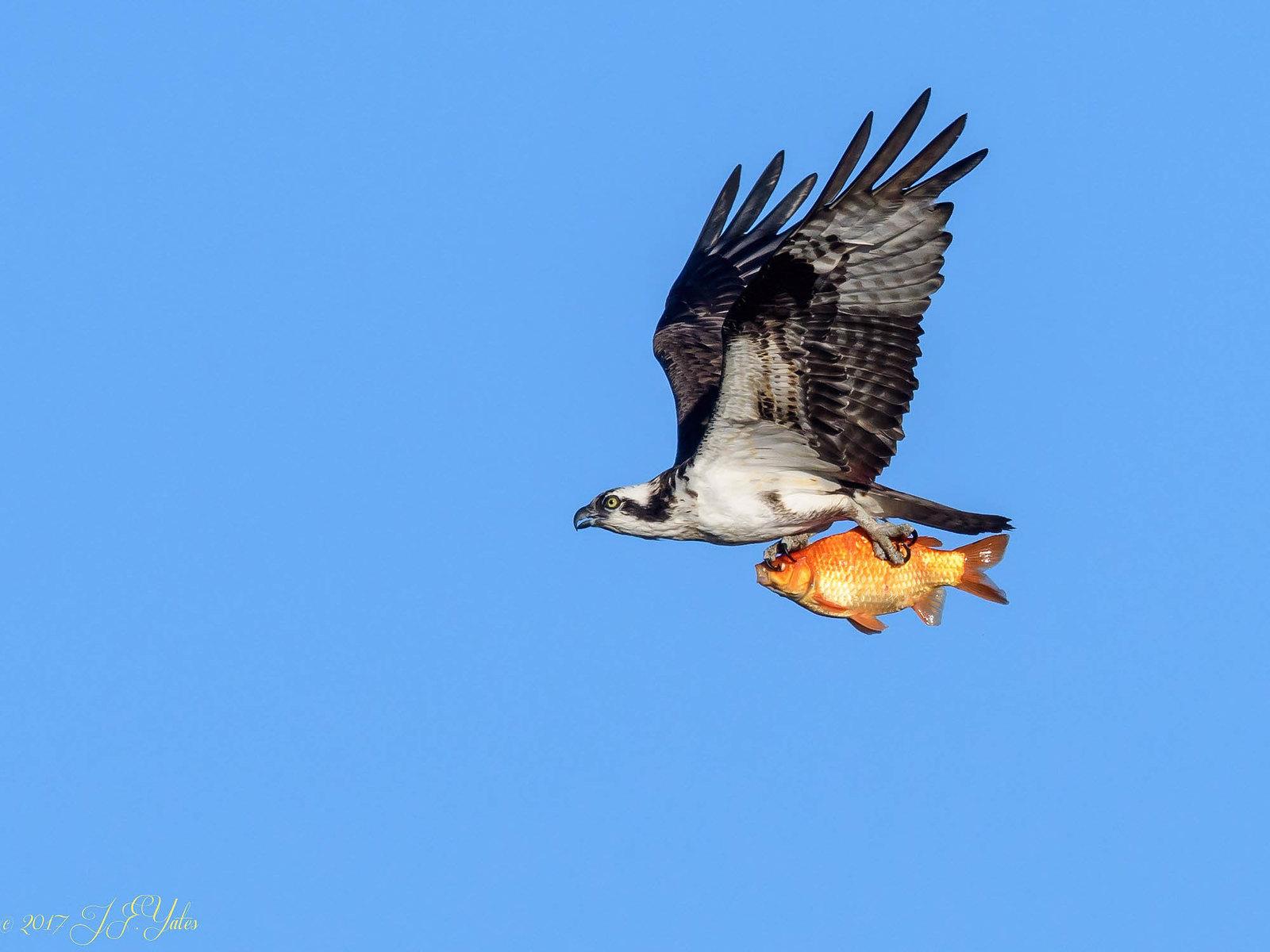 osprey-10.jpg