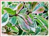 Bucida buceras cv. Variegata (Variegated Madagascar Almond, Dwarf Geometry Tree, Oxhorn Bucida)