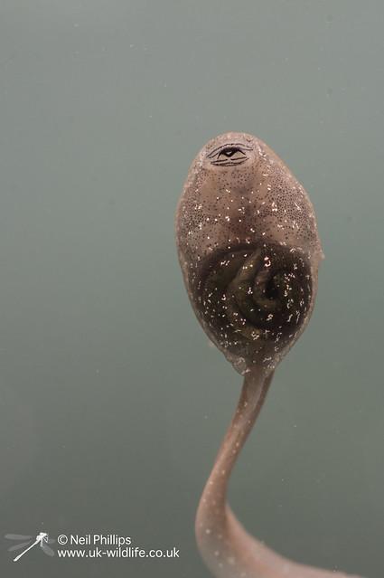 Common frog tadpole_-3