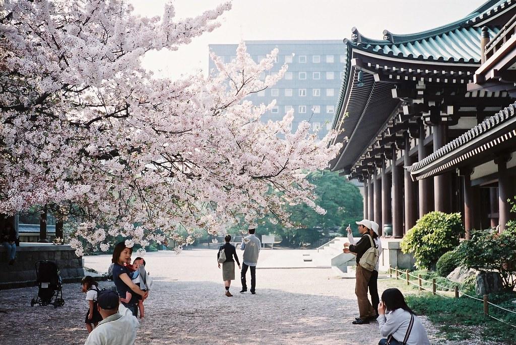 Image result for cherry blossom fukuoka