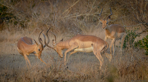 Fighting Male Impalas - South Africa | by petechar