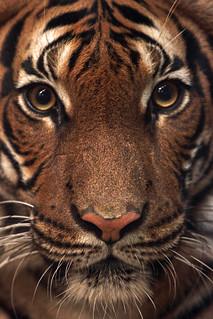 maleise tijger dortmund img 0123 safi kok flickr. Black Bedroom Furniture Sets. Home Design Ideas