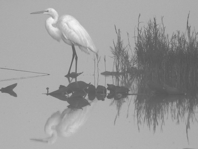 Great Egret in fog BW 20140224