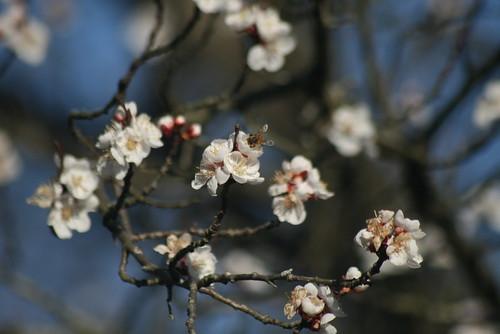 apricots blossoms