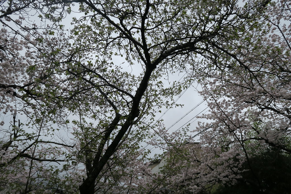 可惜今天是陰天下點小雨,不過滅不了我們的賞櫻興致,更滅不了哲學之道櫻花的美麗!