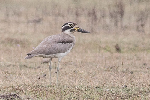 Great Thick-knee