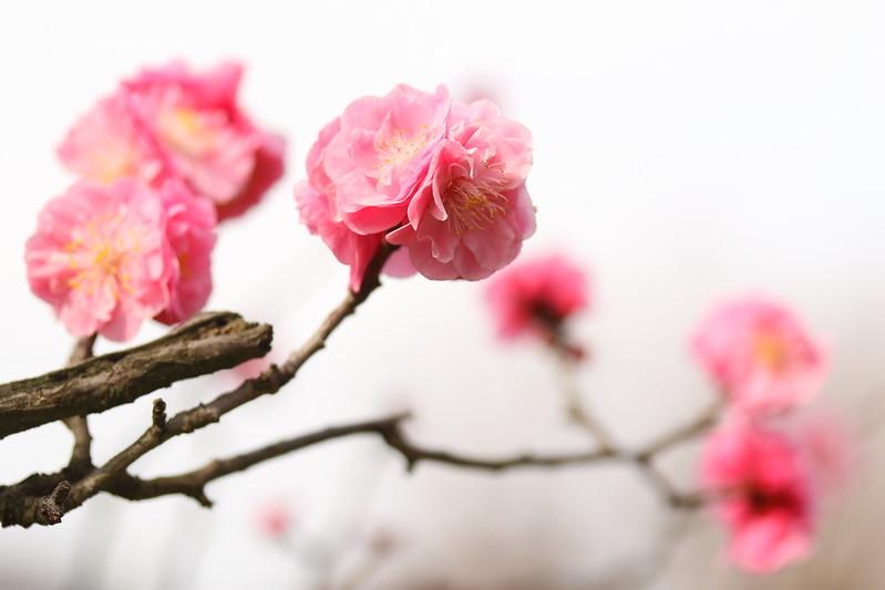 八重咲きの梅の花