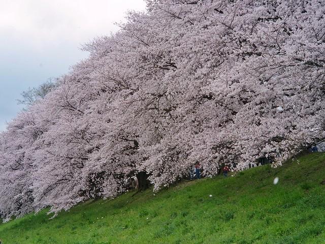 Cherry Blossoms in Sewaritei 1 (GXR Mount A12 + Jupiter-3 50mm F1.5)