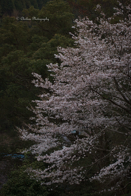 桜(Cherry Blossoms)〜2017