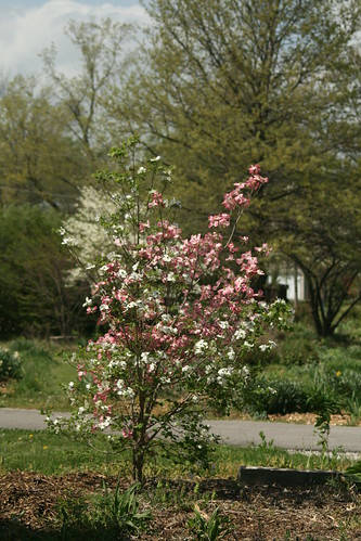 white and pink dogwood