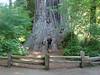 080 Big Tree