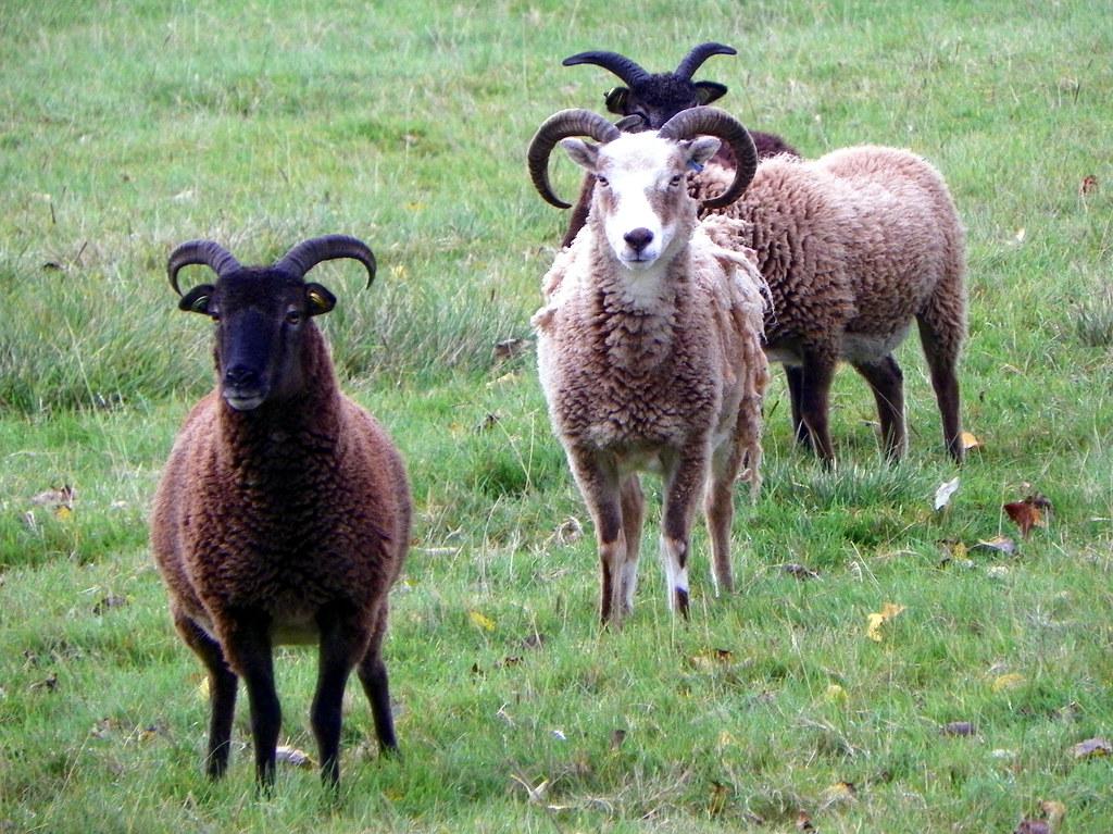 GOC Cheddington 017: Sheep