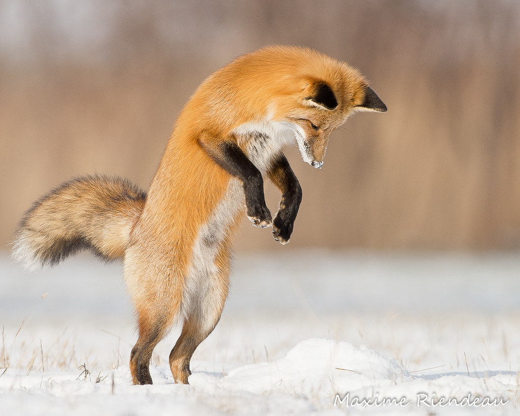 fox ears jump animal - photo #30