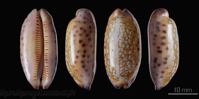 Mauritia scurra mundula - Lorenz, 2002  voir  Mauritia scurra scurra - (Gmelin, 1791) 33133761325_838618ef47_z
