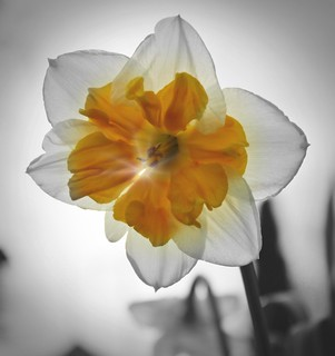2017-4-16. Sun behind Daffodil