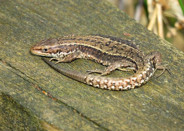 Common Lizard - Zootoca vivipara