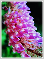Closeup capture of an attractive flowering spike of Uraria crinita (Cat's Tail Plant, Asian Foxtail) in pink, 6 April 2017