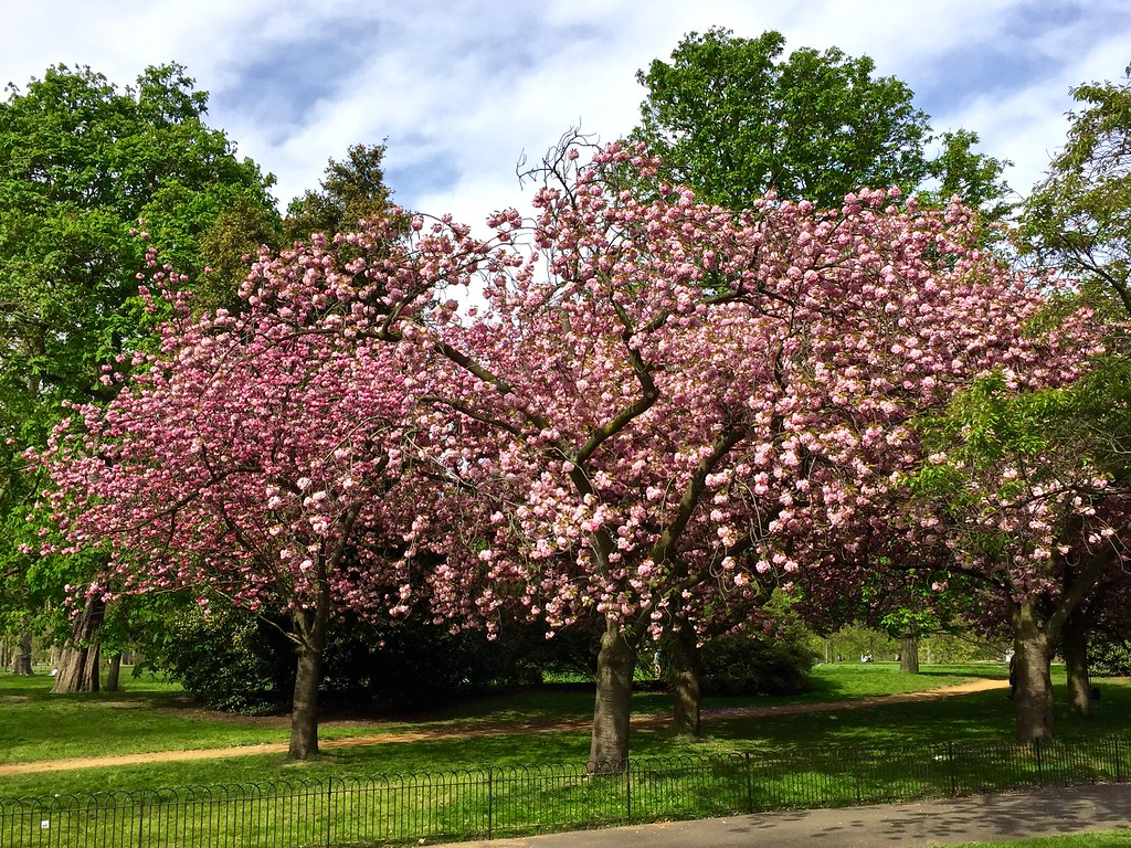Image result for kensington gardens cherry blossoms