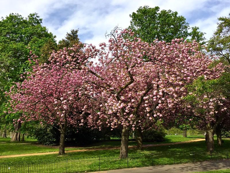 Kensington Gardens 2017 cherry blossom