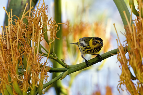 Cuba: Cape May Warbler