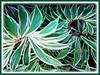 Costus speciosus 'Variegatus' (Variegated Crepe Ginger, Variegated Spiral Ginger, Variegated Spiral Flag)