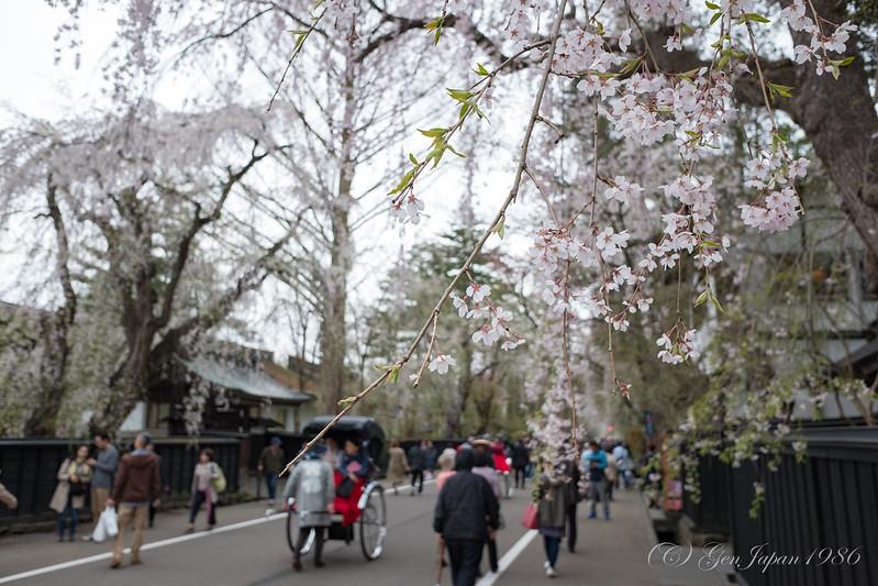 角館町武家屋敷通り 桜
