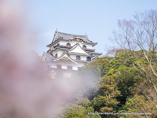 Cherry blossoms #02