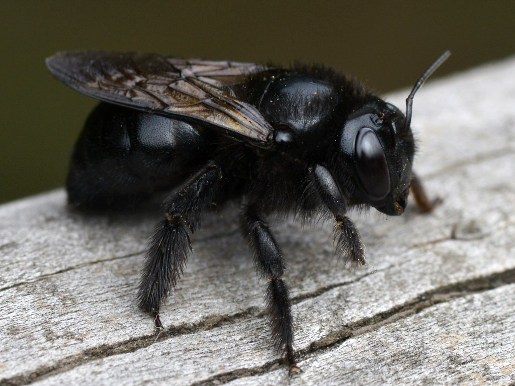 Carpenter bees - representatives of anthophorides