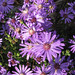 Georgia aster flowers. Credit Michele Elmore, The Nature Conservancy, Georgia.
