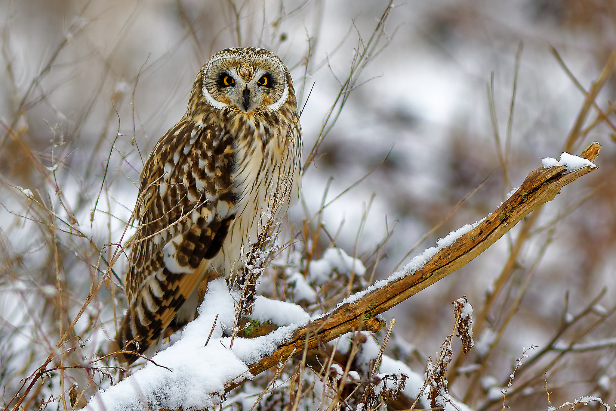 Short-eared owl in snow