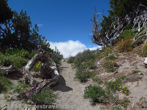 Part of the trail on Gnarl Ridge - there are stands of trees with lovely wildflowers in the summer