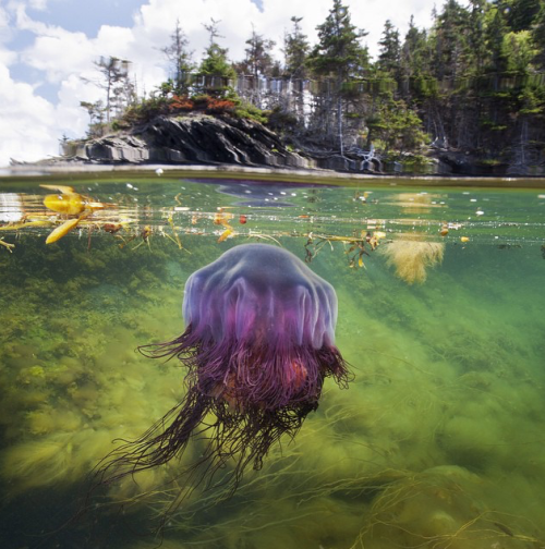 A lions mane jellyfish hunts for a meal in the shallow coves of Bonne Bay fjord in Gros Morne National Park