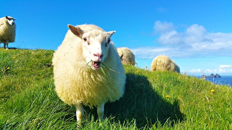 traveling in Iceland and eating sheep