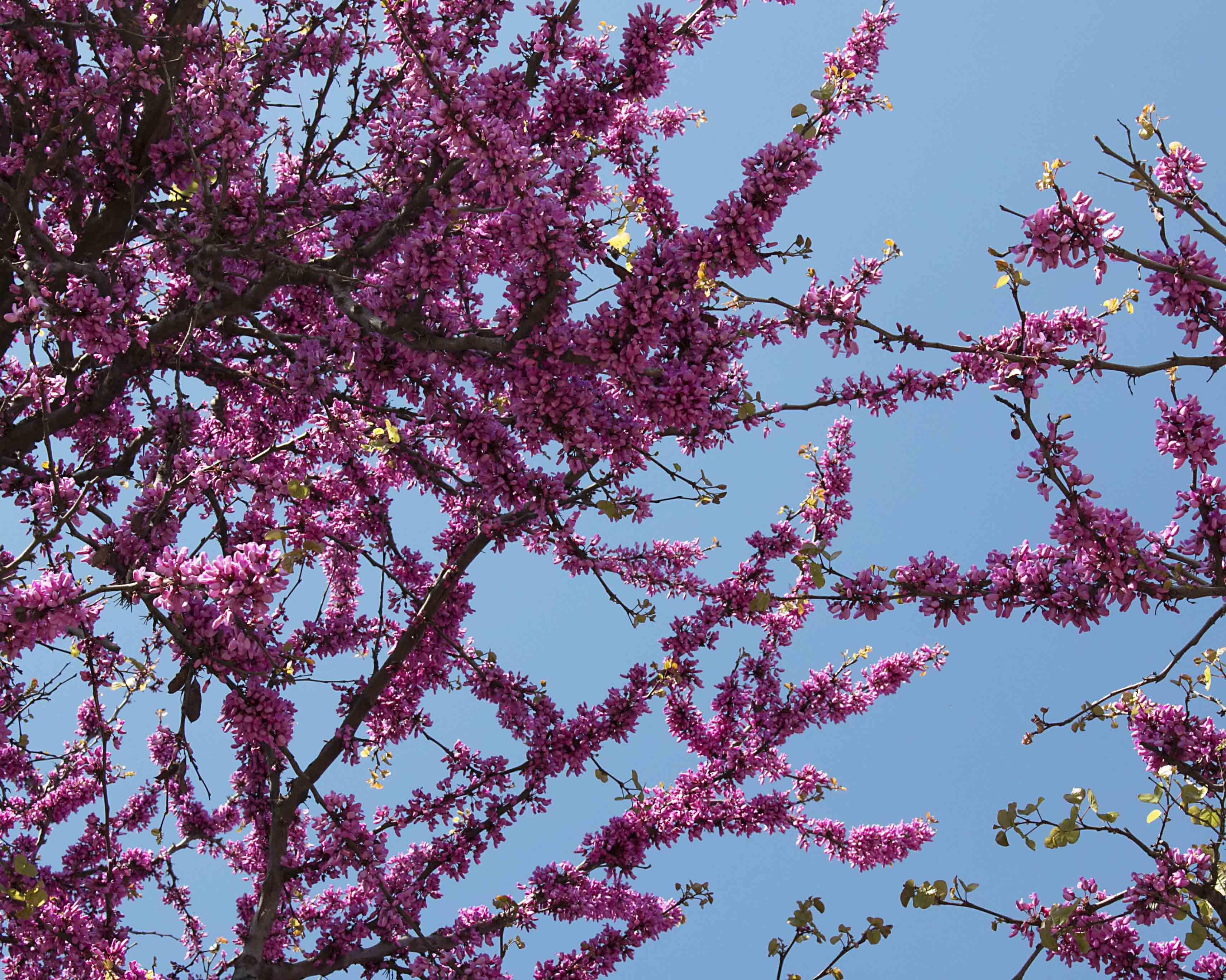 Rooma_kukkiva kirsikka