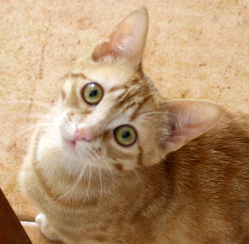 Gara, gatita naranja moteada divertida y activa esterilizada, nacida en Octubre´16 en adopción. Valencia. ADOPTADA. 33416122832_ea1870a2fe