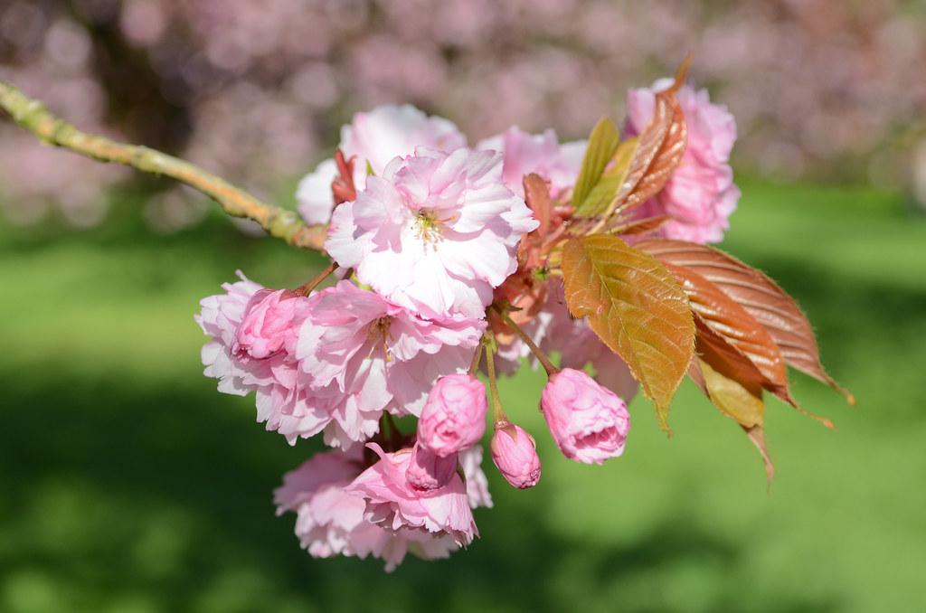Les cerisiers du Parc de Sceaux
