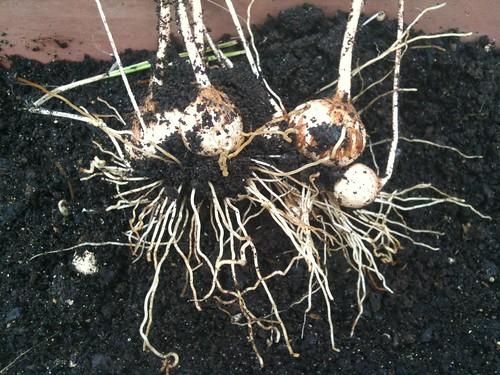 how to grow saffron uk