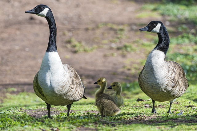 Two geese with young one