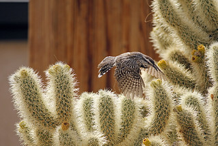 Cactus wren (Campylorhynchus brunneicapillus) building a nest | by Joshua Tree National Park