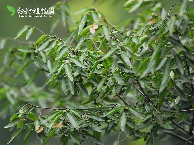 雞油。圖片來源:台北植物園。
