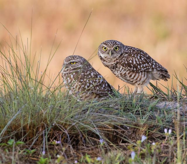 Burrowing Owls 095a_1656