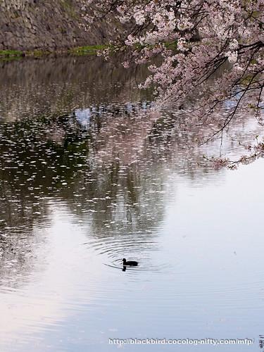 Cherry blossoms #17