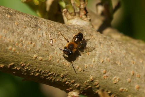 Tawny Mining Bee (Andrena fulva), m