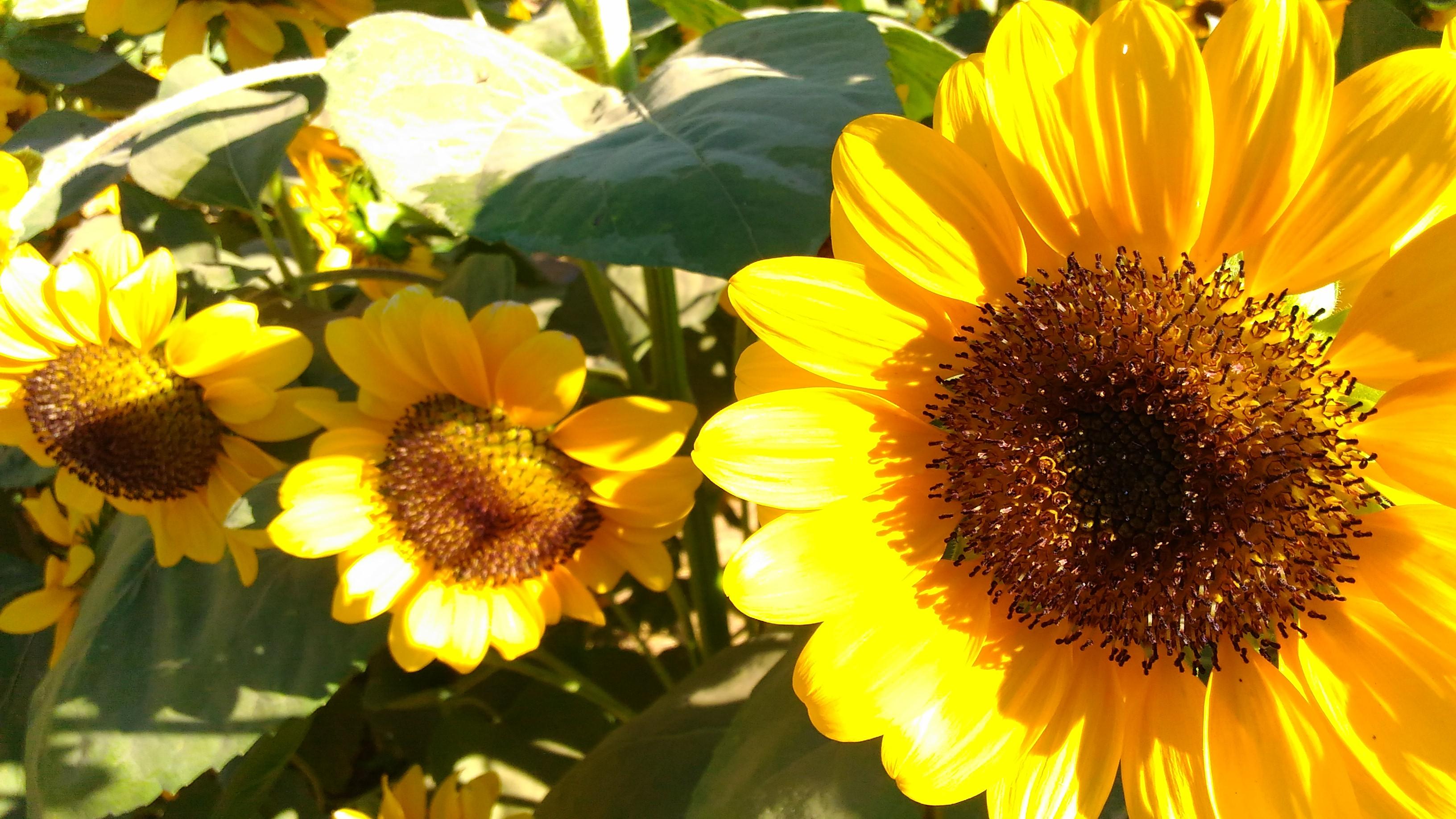 sunflower maze_2017_11