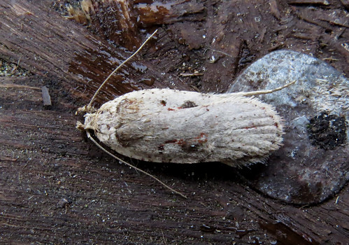 Agonopterix ocellana Tophill Low NR, East Yorkshire March 2017