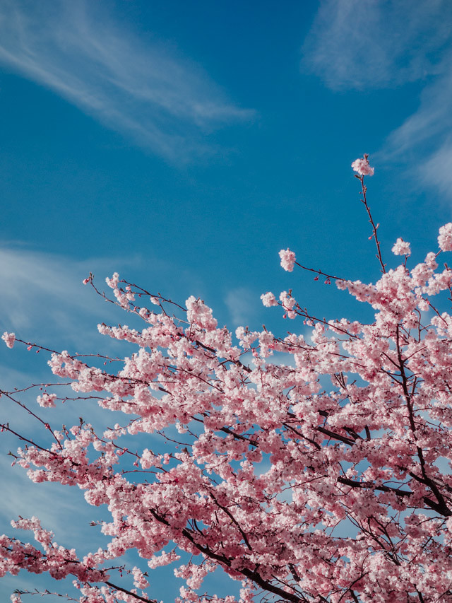 pink blossom and blue skies